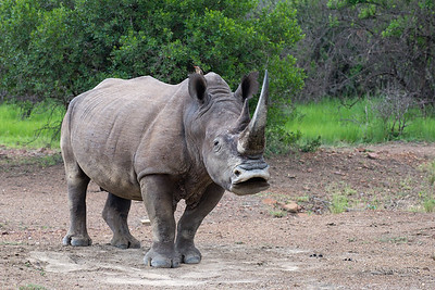 White Rhino, Ithala NP, KZN, SA, Jan-2014-2