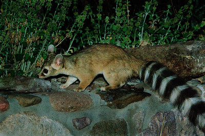Ring-tailed Cat-107