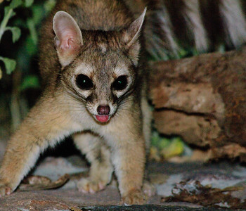 Ring-tailed Cat-101