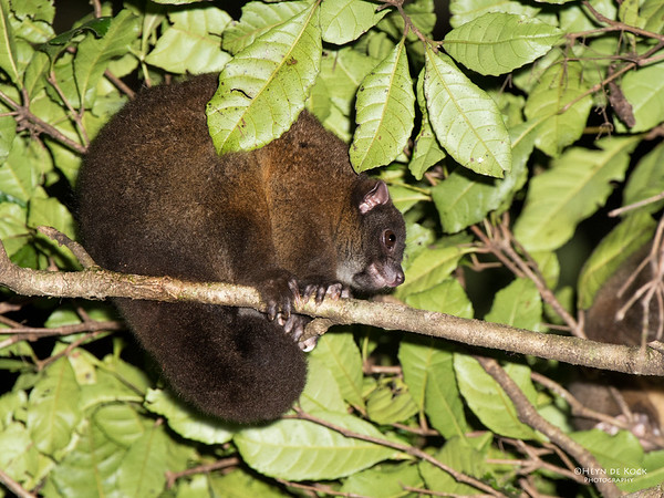 Lemuroid Ringtail Possum, Mt Hypipamee NP, QLD, Dec 2014-1