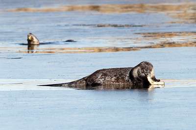 River Otters with fish
