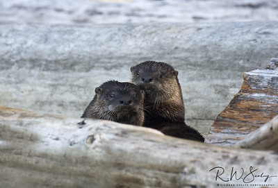 Otter Consternation
