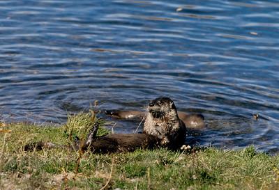 River Otter-112