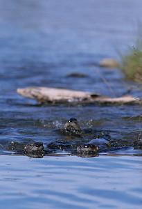 River Otter-117