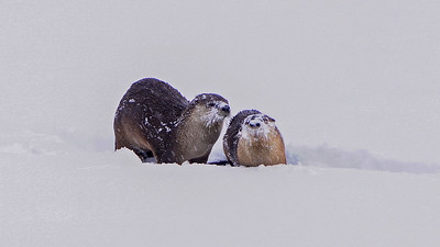 River Otter Snow Play