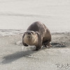 Otter Stepping Out