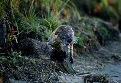 River Otter-105