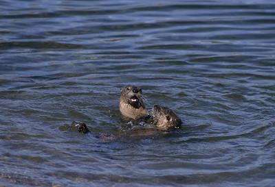 River Otter-113
