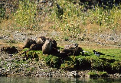 River Otter-111