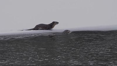 River Otter Sliding On The Ice