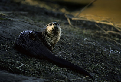 River Otter-103
