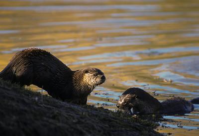 River Otter-104