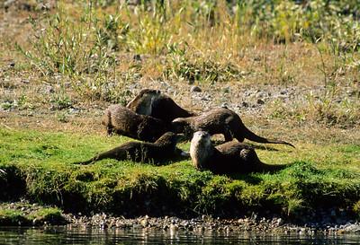 River Otter-110