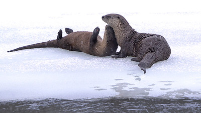 River Otters Cuddle and Kiss