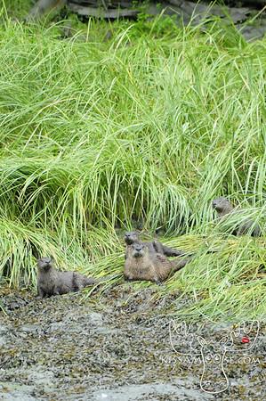 River Otter Family, Valdez, AK