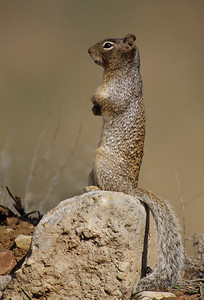 Rock Squirrel-101