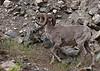 Mature Bighorn Ram.