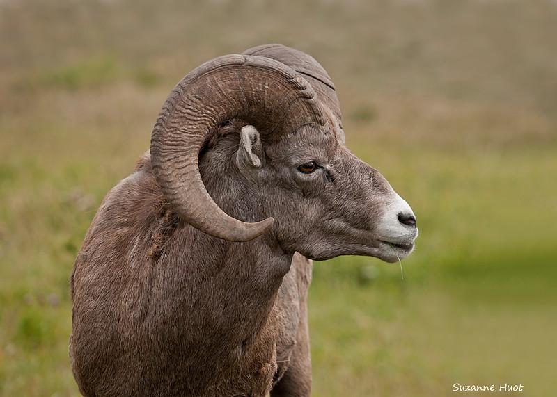 Ram's portrait.