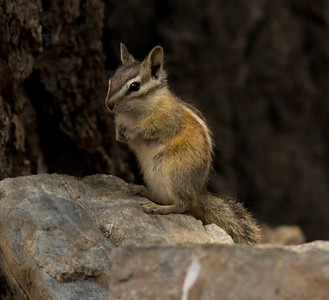Golden Mantle Ground Squirrel  Mammoth Lakes 2012 07 14 (2 of 3).CR2