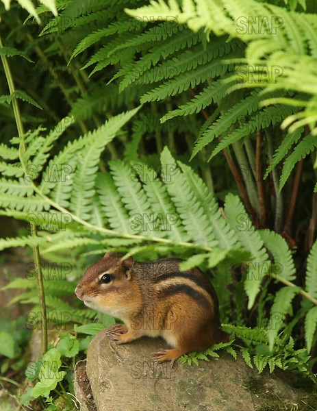 "Eastern Chipmunk (Tamias striatus), with its cheek pouches full of seeds.  According to ""WikipediA,"" in the Native American Ojibwe language, the chipmunk is called ""ajidamoo, which translates literally as ""one who descends trees headlong."""