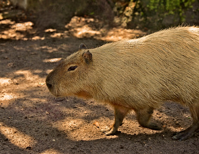 A walking Capybara (Hydrochaeris hydrochaeris) at the Jacksonville Zoo and Gardens.