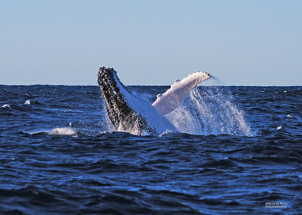 Humpback Whale, Southport, QLD, Jul 2009
