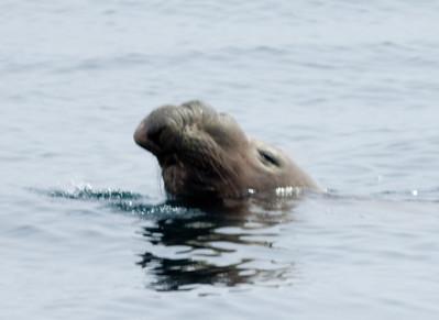 Elephant Seal Los Coronados Pelagic 04 14 10