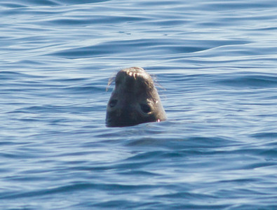 Elephant Seal Orange County Waters 2012 02 04 (1 of 2).CR2