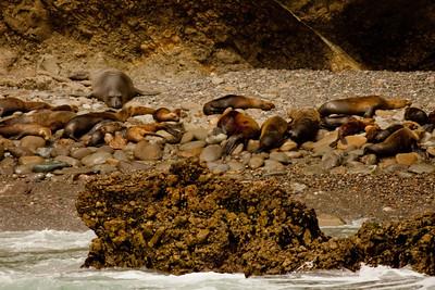 Elephant seal Sea Lion Harbor Seal Los Coronados Pelagic 04 14 10