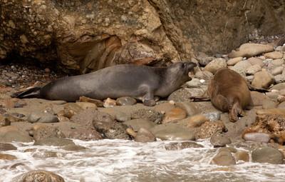 Elephant Seal  Sea Lion Los Coronados Pelagic 04 14 10