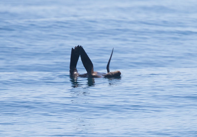 Guadalupe Fur Seal Red-necked San Diego Waters  2019 04 17-1.CR2-1.CR2