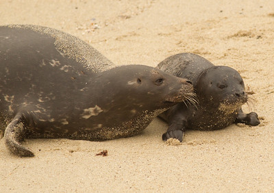 Harbor Seal  La Jolla 2012 03 16 (4 of 5)-2.CR2