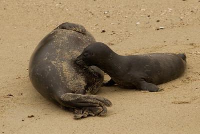 Harbor Seal  La Jolla 2012 03 16 (2 of 5)-2.CR2