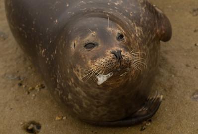 Harbor Seal  La Jolla 2012 03 16 (5 of 5)-2.CR2