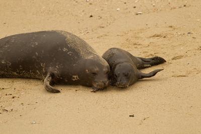 Harbor Seal  La Jolla 2012 03 16 (3 of 5)-2.CR2