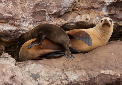 Sea Lion  Los Coronados Islands Mexico 2010 06 16 (6 of 9).CR2