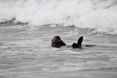 Sea Otter with crab