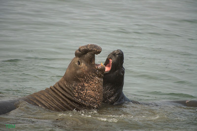 Northern Elephant Seals.