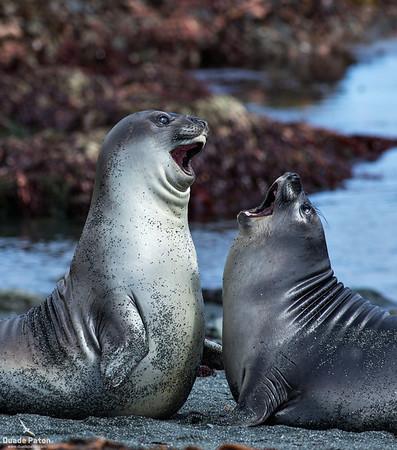 Elephant Seal Pups