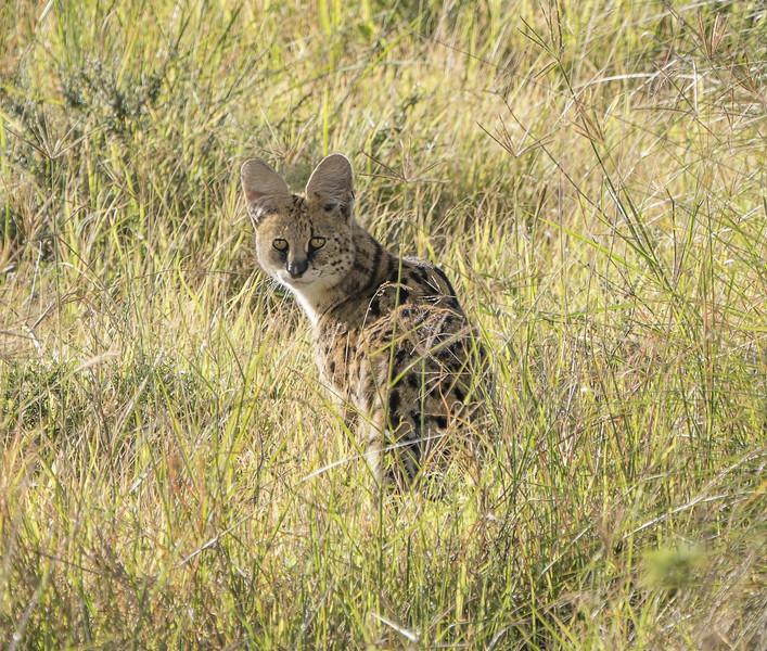 Serval Lookback Through the Grass