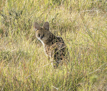 Serval Lookback Through the Grass