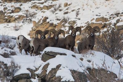 California Bighorn Sheep