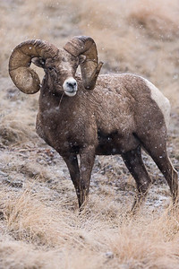 Rocky Mountain Bighorn Sheep