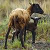 Feral sheep or hipa (H), Ovis aries, with her lamb, Pu'u wa'awa'a, Hawaii