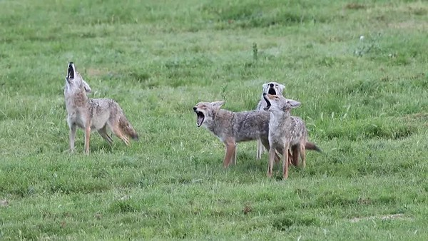 4 of 6 coyotes howling. When the coyotes stopped howling, a 7th coyote ran into field and greeted them.