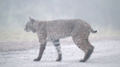 Bobcat  Lynx rufus californicus  My first video clips using the 7D. The clips are a compilation of clips of bobcats were made on thick foggy, windy days in low light in June. The quality is a little wacky regarding some camera shake, some out of focus in the fog, noise and a couple choppy transitions. But regardless here's a document of my first clips.  The clips show brief moments of a  bobcat hunting in fog, bobcat in grass, bobcat resting on a rock, and a bobcat hunting along the side of a road.  The clips are of 3 different bobcats. One male and two females. One of the females is a cat I had not seen before and was seen in a completely different location than the other two...always exciting to see a new cat!