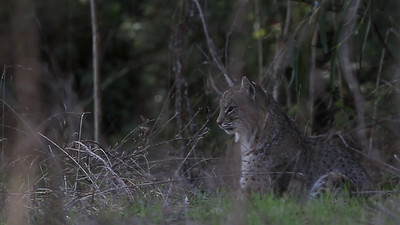 Bobcat hunting - Lynx rufus male