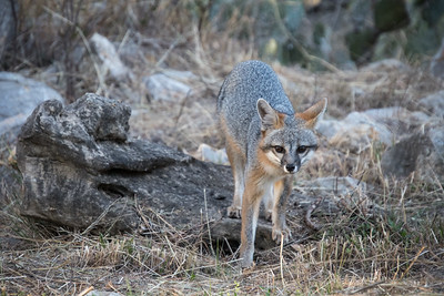 Gray Fox (Urocyon cinereroargenteus)