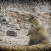 Prairie dog at Arizona Sonoran Desert Museum (captive)