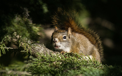 Red Squirrel (Tamiasciurus husonicus)